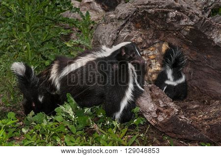 Striped Skunk Mother (Mephitis mephitis) Holds Kit - captive animals