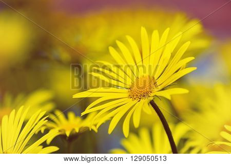 Yellow daisies Leopards Bane flower (Doronicum) blooming in spring