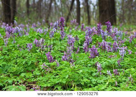 Spring meadow with blooming purple Corydalis closeup