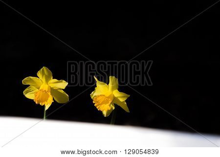 Yellow daffodils blooming in spring in the park