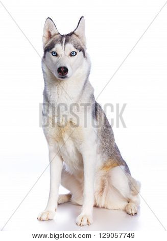 Siberian husky sitting on a white background