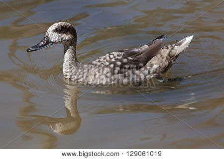 Marbled duck (Marmaronetta angustirostris), also known as the marbled teal. Wild life animal.