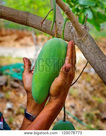 young mangoes on tree in human hand in tropical climate garden