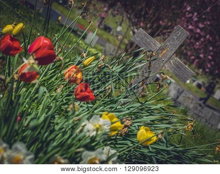 Red and yellow tulips and white daffodils growing on the old forgotten grave in a cementery in England