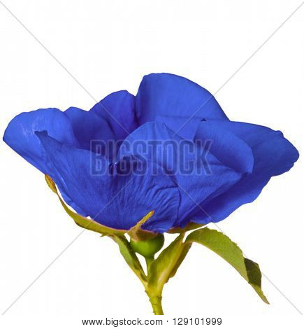 beautiful blue brier flower isolated on white background