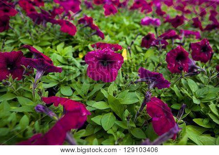 Image full of colourful petunia Petunia hybrida flowers.
