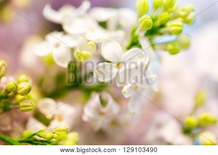 gardening, flowers, floristry, nature and flora concept - close up of beautiful lilac