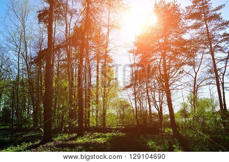 Forest sunny landscape - forest under sunlight shining through the tree tops. Spring colorful sunny forest landscape.