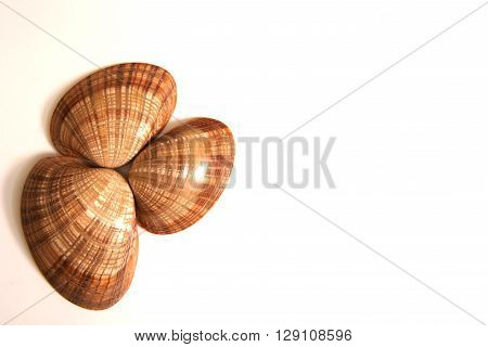 Three mollusc shells isolated against a white background