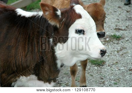 close up of an adorable brown and white calf with black eyes