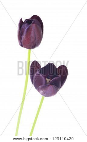 Studio Shot of Pink and White Colored Tulip Flowers Isolated on White Background
