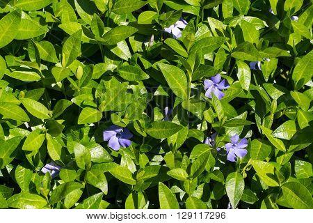 Periwinkle - Vinca minor - spring purple flowers with glossy leaves