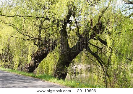 big old willows growing on the dyke of a pond in Poodri, Czech Republic