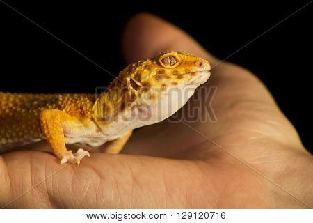 Leopard Gecko Pet