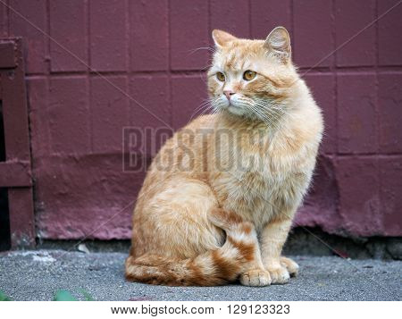 Auburn street cat. Wandering cat sitting on the pavement against a wall at home. The concept of the problem of homeless animals