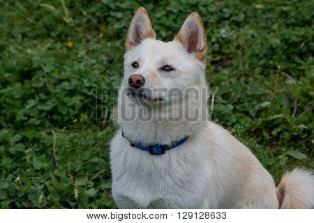 Close-up view of Shiba Inu dog at park