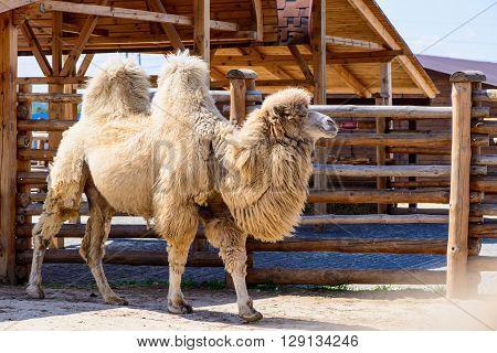 Bactrian Camel Animal