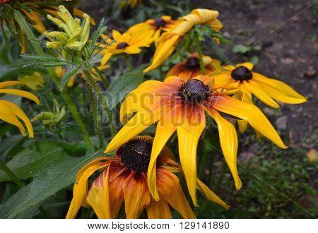 Flower coreopsis Altai Republic Siberia Russia August 2014