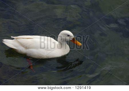 White Duck Swimming.