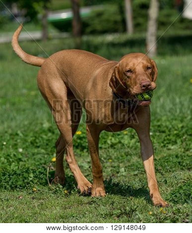 Hungarian Vizsla dog outside in the park. Selective focus