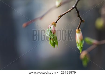 Life cycle concept. Birch buds, embryonic shoots with fresh green leaves. closeup tree branch, soft background