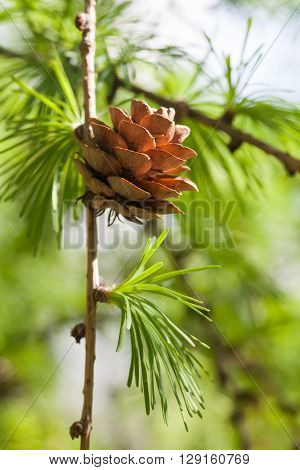 Fir branch with fir-cone. Forest landscape, sunny dat. green energy, eco concept. shallow depth of field
