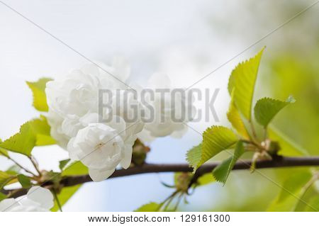 Blooming chinese apple branch with white flowers and green leaves. crabapple tree, Malus prunifolia fruit tree closeup