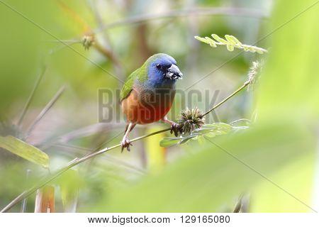 Pin-tailed Parrotfinch Erythrura prasina Eating Bamboo flowers