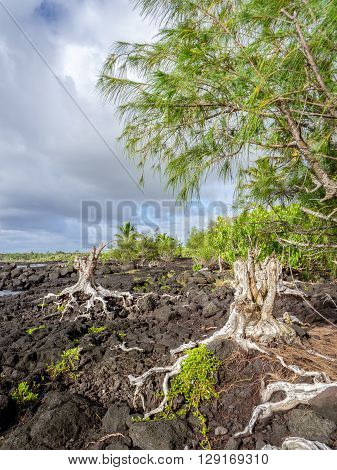 Roots On Lava