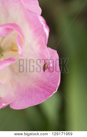 macro tulip flower with insect colored colorful close up