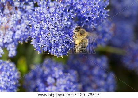 Bee Foraging with pollen on legs ceanote blue flowers