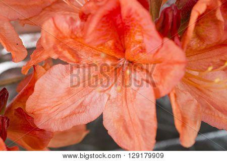Beautiful blooming azaleas  in the garden - orange azalea flower nature
