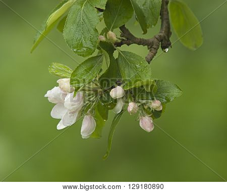 Crab apple blossom in bloom in spring