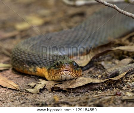 Plain-bellied Water Snake Close Up in Dried Leaves on hiking trail