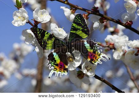 Harlequin butterfly on a flowers