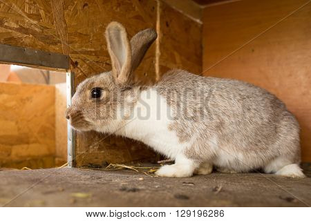 Mature Rabbit Doe In Farm Cage. Breeding Rabbits