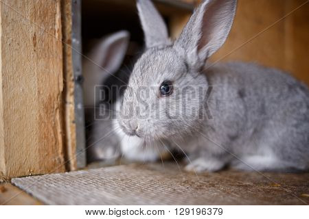 Adorable Young Bunny In A Big Wood Cage At Farm