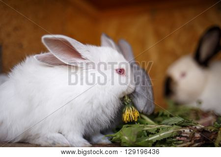Small White And Gray Rabbits Feed Grass In A Hutch