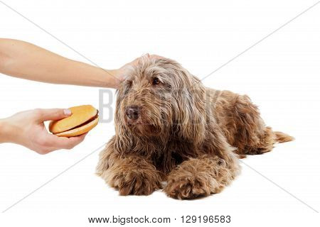 Hungry dog waiting to eat a tasty cheeseburger