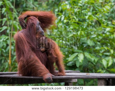 Orangutan sitting on a wooden platform in the background of green leaves
