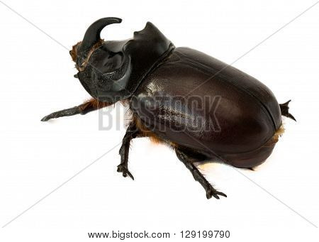 beautiful rhinoceros beetle on a white background
