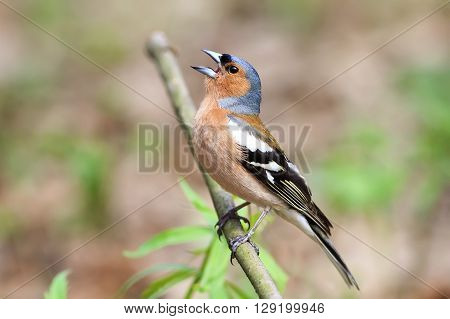 bird Chaffinch sings a song in spring green forest