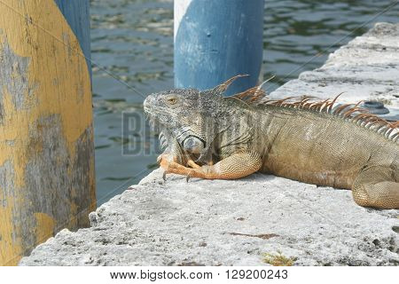 A large green iguana spotted at Viscaya Gardens in Miami, Florida.