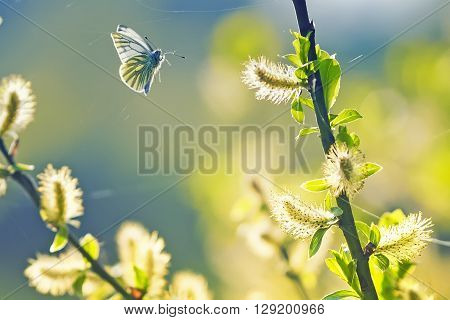 beautiful white butterfly flitting among the willow branches blooming in spring