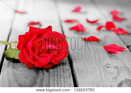 red rose with waterdrops and petals on desaturated wood