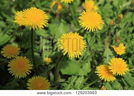 Yellow Dandelions On The Green Field In Spring