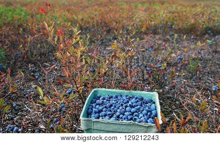 Picture of a basket full of blueberries,taken at one of the fields around Lac St Jean,Quebec,Canada.