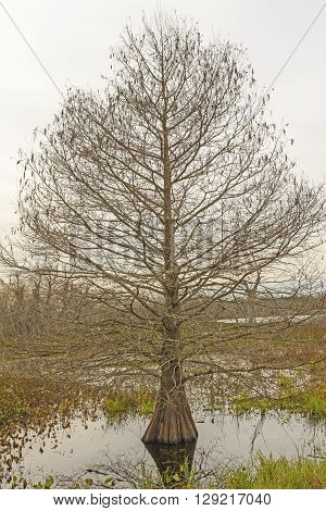 Cypress Tree on a Winter Day in Brazos Bend State Park in Texas