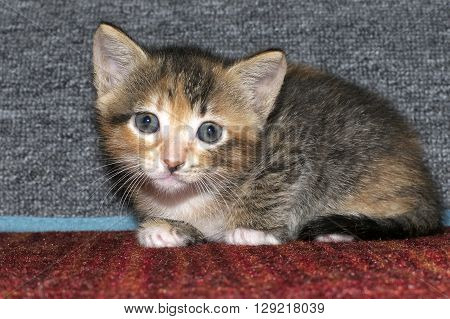 Calico tricolor tabby kitten crouched down on red textured carpet with gray carpet scratching post behind her. Looking at the camera