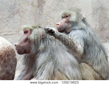 A Pair of Baboons Genus Papio Sit and Exhibit Grooming Behavior